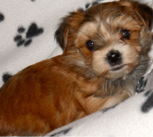 Adorable Yorkshire Terrier Puppy For Sale