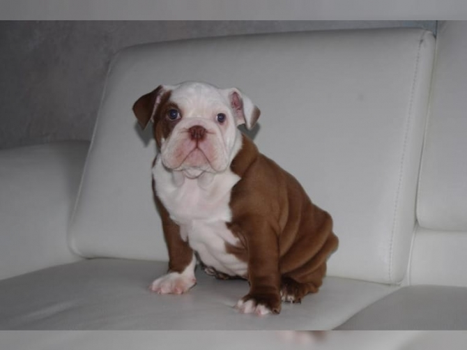 AKC Registered English Bulldog Puppies For R-Homing