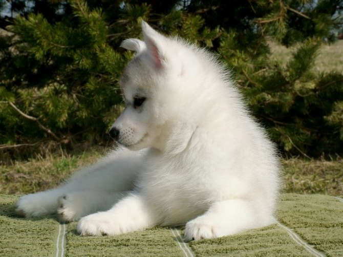 Siberian Husky Puppies Under 100 Dollars For sale United
