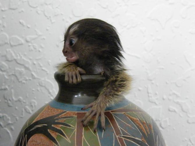 Spider Monkeys For Sale For sale United States Pets - 1
