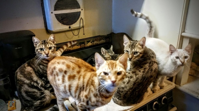 3 Litters of Purebred Bengal Kittens Tica Registered