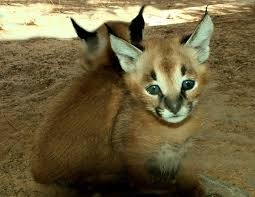 Serval Kitten,ocelot Kitten,caracal Kitten For Sale