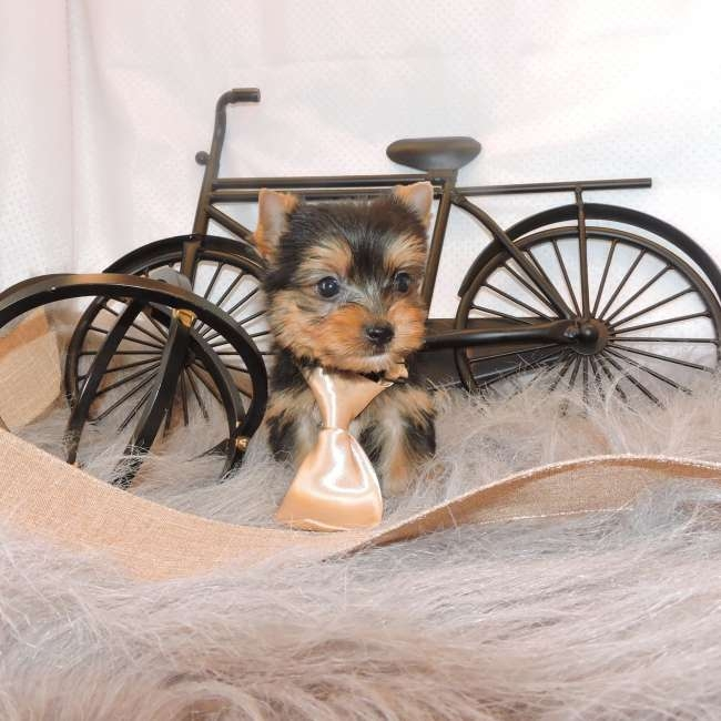 Super Adorable Teacup Yorkie Puppies 208 352-0963