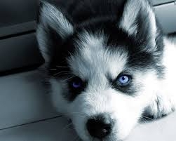 Siberian Husky Puppies Blue Gold Eyes