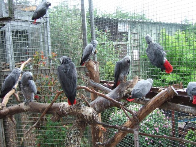 African grey , macaw , cockatoo , black palm , ostrich , emu and fertile eggs for sale