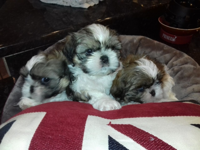 FOUR SHIH TZU IMPERIAL TEACUP PUPPIES FOR SALE  KEENE For sale Keene Pets  Dogs