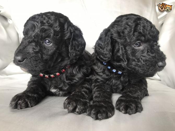 Teacup Poodles In Utah For Under$300 For sale United States - 1