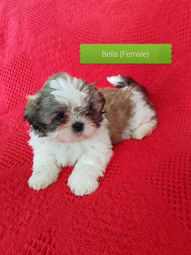 Pleased Shih Tzu Puppies For Sale Houston For Sale