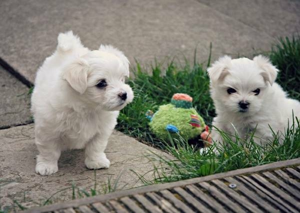 Healthy T-Cup Maltese Puppies Available call 302307-6146