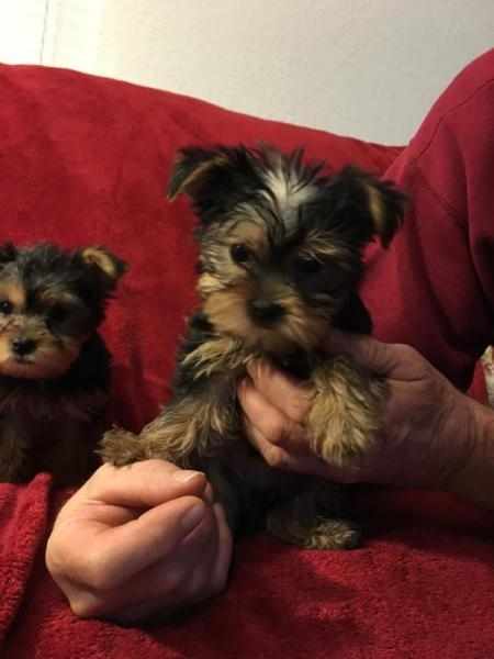 $290 Two Precious Yorkie Pups CALLTEXT..216 264-3815