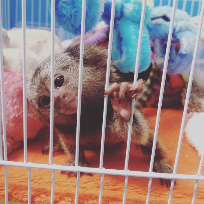Home Raised Pygmy Marmoset Monkeys Available