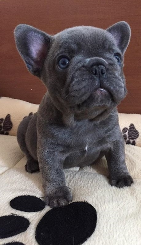 Cvc Blue French Bulldog Puppies Available Now For Adoption