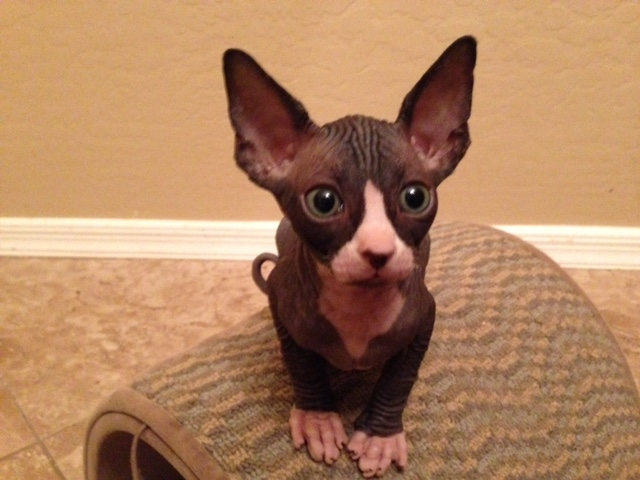 LOVELY SPHYNX CATS READY TO GO     WICHITA For sale Wichita Pets Cats