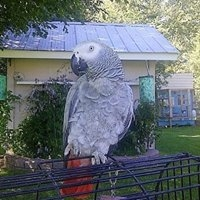 Affectionate African Grey Parrots For Sale