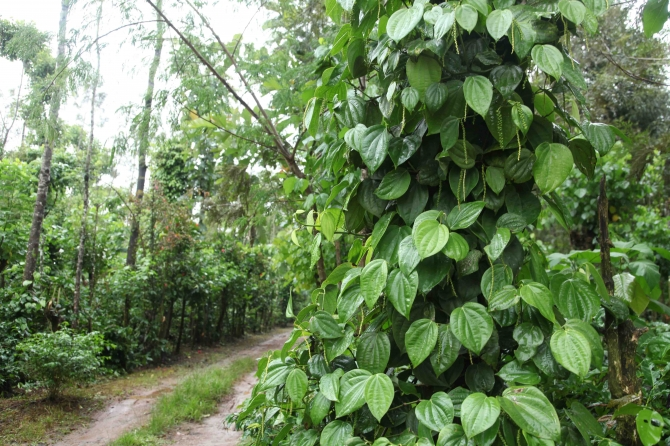 3 Acre coffee estate for sale chikamagalur Rs.28 Lacks per acre