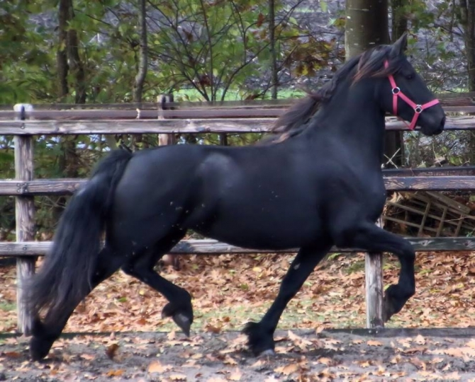 Beautiful reg. Friesian gelding,