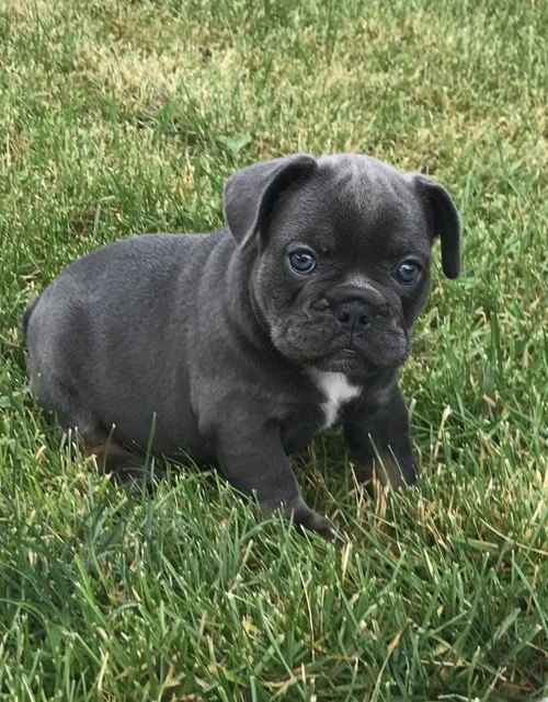 Cute and Adorable French Bulldog pups