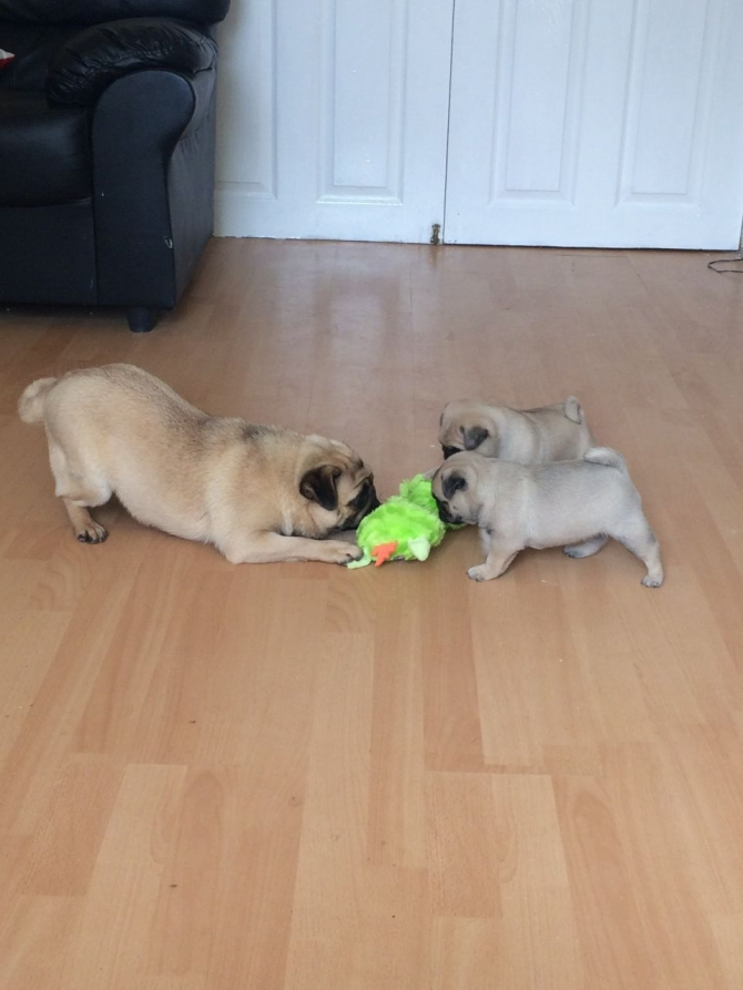 Beautiful Pug Pups For Sale text 424 257-1089