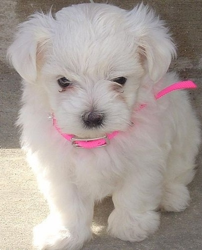 Super Adorable Teacup Maltese Puppies Text 614 347-9210 for more details