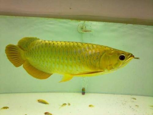 24k golden arowana golden x cross back arowanas for sale for Arowana fish for sale online
