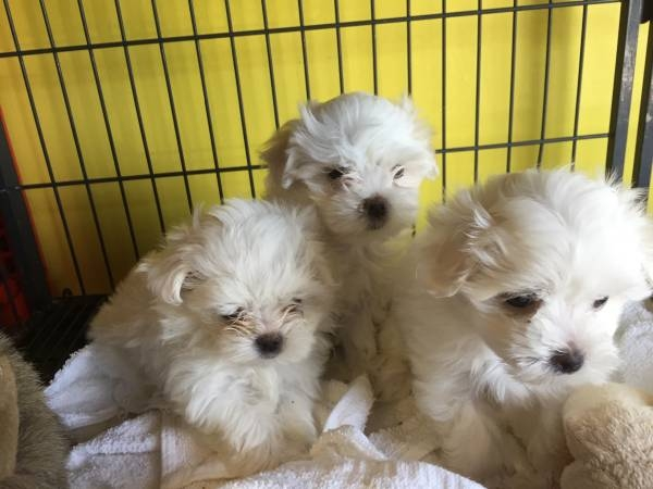 Purebred Maltese Puppies Available Call or Text 302307-6146