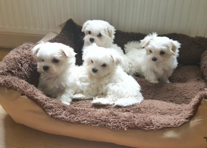 Purebred Maltese Puppies Available Call or Text 302307-6146  They are up to date on shots and dewormed .they are vet checked and healthy. Have been raised by a family with children, so they get lots of love and affection Call or Text  302307-6146