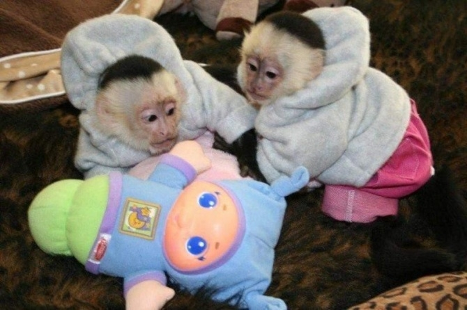 Baby Monkeys for sale Dm 719 345-2915