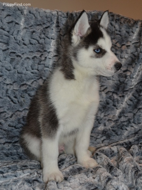 Active Purebred Siberian Husky puppies