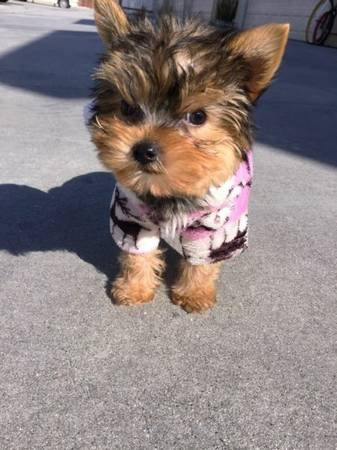 1 male and 1 female yorkie available for chrismas