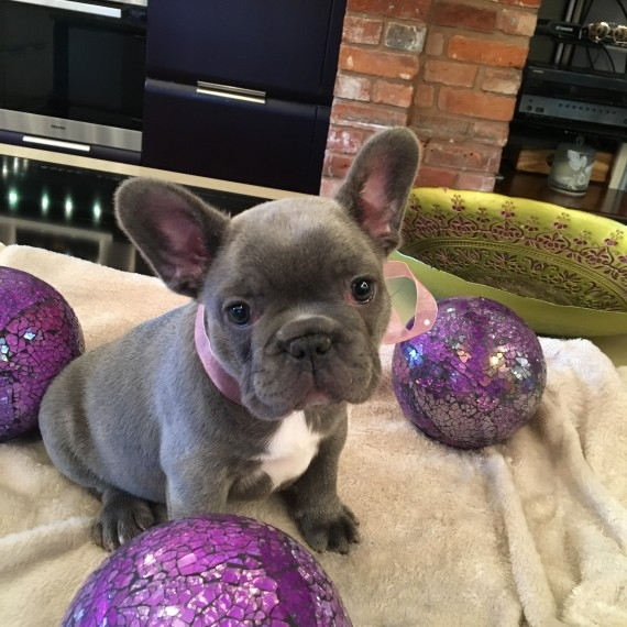 Good Quality French bulldog Puppies Available for Christmas