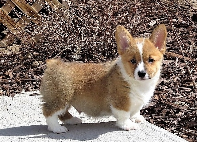 Pembroke Welsh Corgi For X Mas Come Get One Now