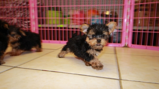 Female Yorky Puppy Need Loving Homes