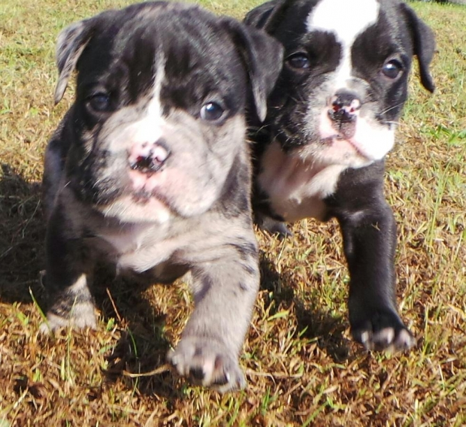 English Bull Dog Pups Ready To Leave Anytime