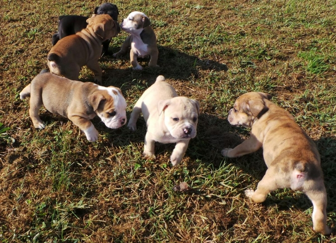 Now Available English Bull Dog Pups