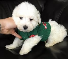 cutest maltese baby for adoption during Xmas