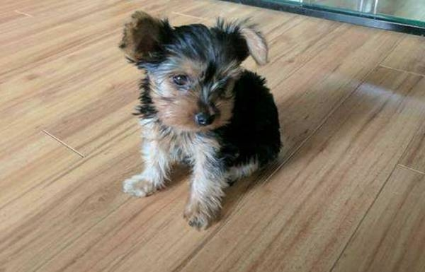 AKc Male and Female Yorkie Puppies For Sale