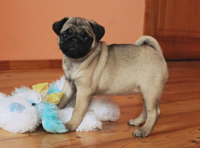 Pug Puppies Needs a New Family