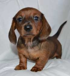 Dachshund puppies available for sale to good home.