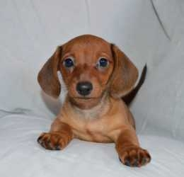 Dachshund Puppies Available For Sale To Good Home