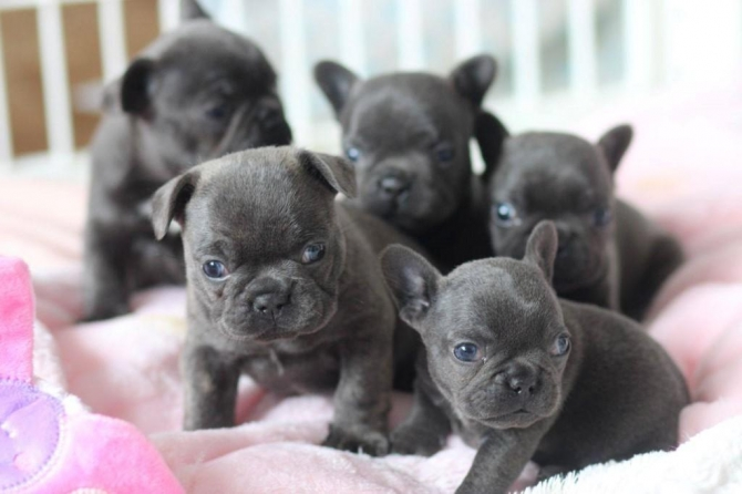 AKC Mini French Bulldog Puppies Available For New Homes.