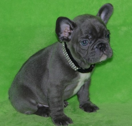 Adorable and Healthy French Bulldog Puppies