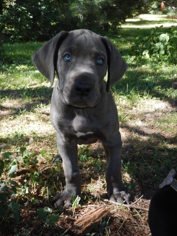 Affectionate Great Dane puppies Available
