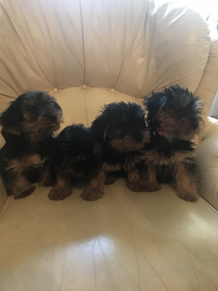 Cute Yorkie Puppies Micro-Chipped Available
