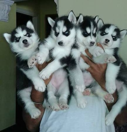 Pottycrate Train Husky Puppies Healthy Family Raised