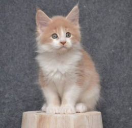 Uddly Boys And Girls Maine Coon Kittens