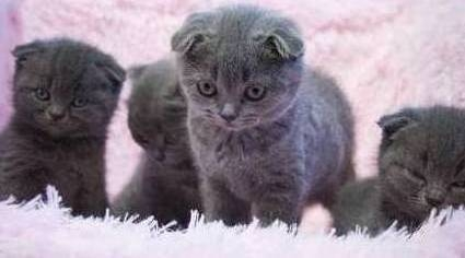 Litter of Pedigree Scottish fold Kittens.