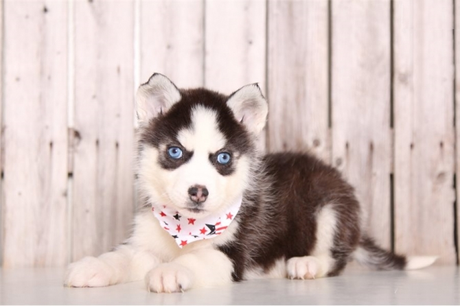 Sweet Siberian Husky Puppies For Adoption