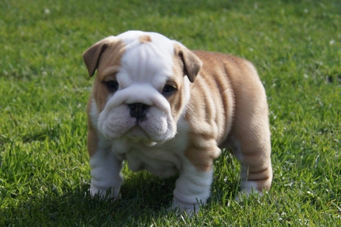 Proudly Raising Outstanding Quality English Bulldog Pups