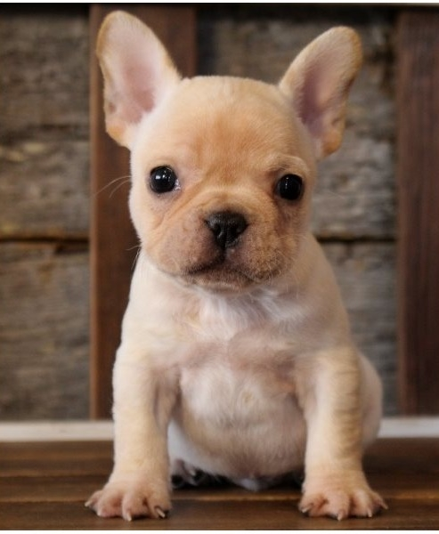12 weeks old French Bulldog puppies