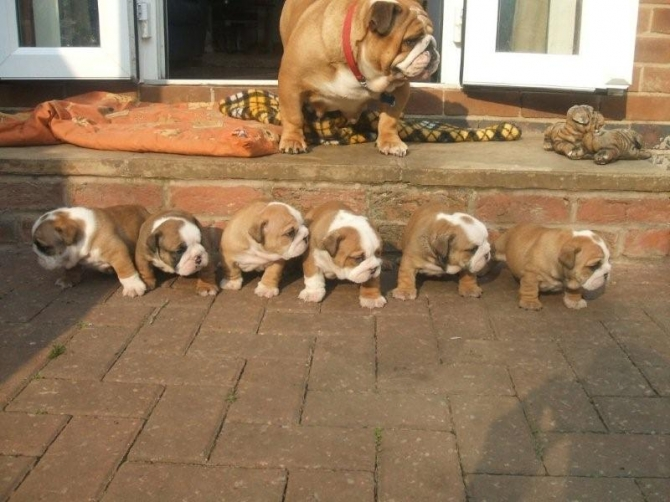 Adorable and Lovely English Bulldog puppies